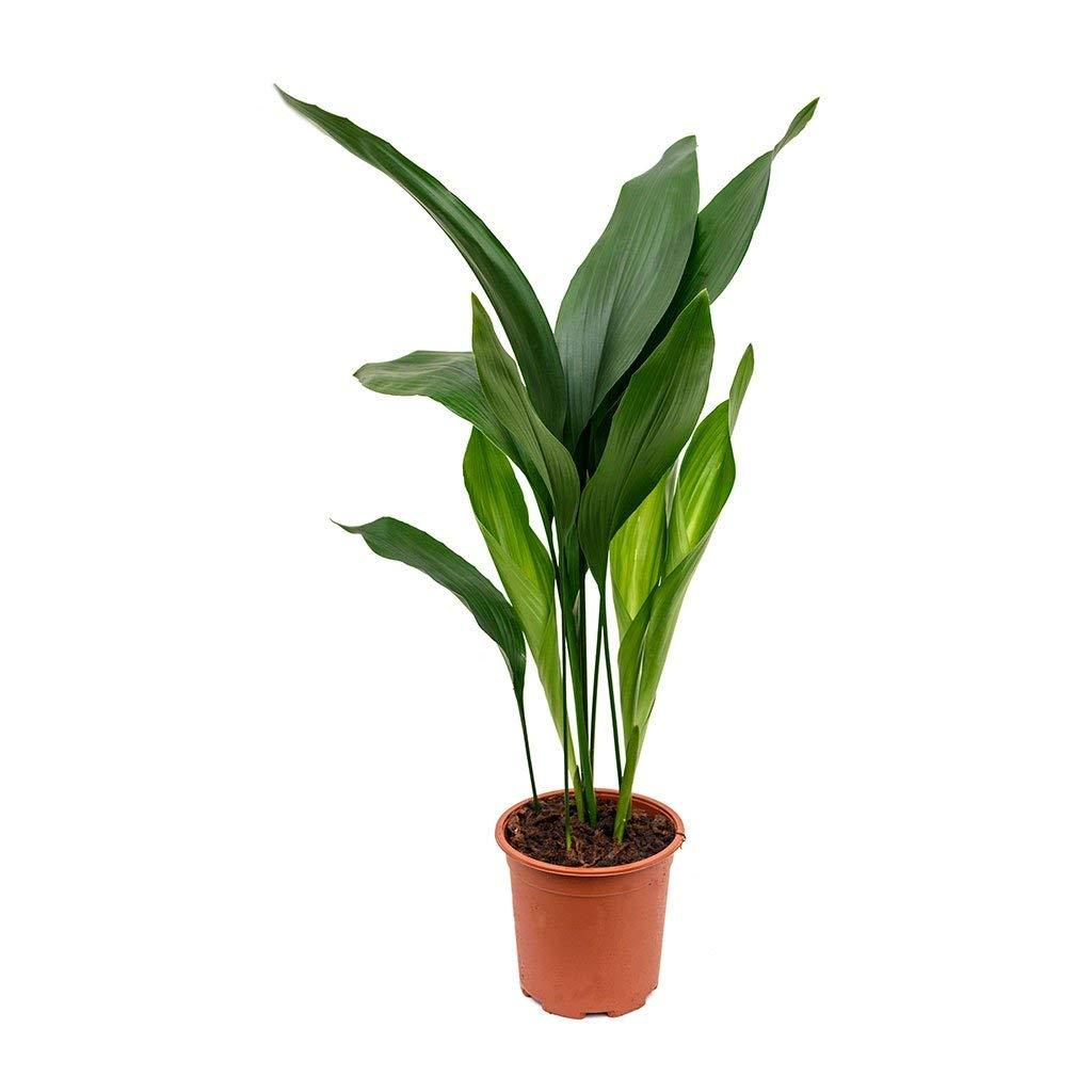 Cast Iron Plant - Aspidistra Elatior - Beautiful Live 6 Inch Pot by Wekiva Foliage