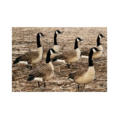 Image of Avian-X Painted Honker Sentry Canada Goose Decoys 6 Pack Decoys