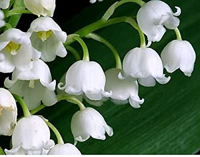 3 Plump Lily of the Valley Bare Root Plants