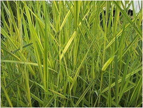 Casavidas Seeds Package: Phragmites Australis (was Communis) Variegata (Variegated Common Reed) 9Cm ()