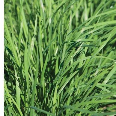 Nira ORGANIC Chinese Leek/Garlic Chive Seeds (Allium tuberosum) 50+ Rare Seeds + FREE Bonus 6 Variety Seed Pack - a $29.95 Value! Packed in FROZEN SEED CAPSULES for Growing Seeds Now or Saving Seeds