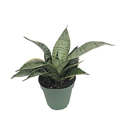 "Starlite Snake Plant, Mother-in-Law's Tongue - Sanseveria - 4"" Pot : Garden & Outdoor"