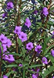12 Healthy Well Rooted Purple Mexican Petunia~ Ruellia Brittoniana Flower Plant