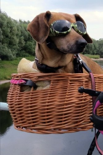 Cool Dachshund Wearing Sunglasses in a Bike Basket Pet Journal: 150 Page Lined - Wearing Sunglasses Stars