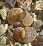 Rare LITHOPS LESLIEI Minor Exotic Living Stone Rock Cactus Cacti Seed 15 Seeds AJND-0111