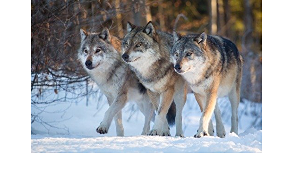 Wolf Pack Photo Wild Animals Poster Print Wall ArtA5 A4 A3 A2 A1