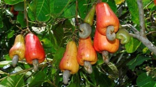 Cashew Apple - Anacardium Occidentale - Cashew Tree - Rare Tropical Plant Tree Seeds (3)