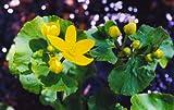 1 Golden Yellow Marsh Marigold Pond/Bog/Water garden live Plants Spring~Hardy