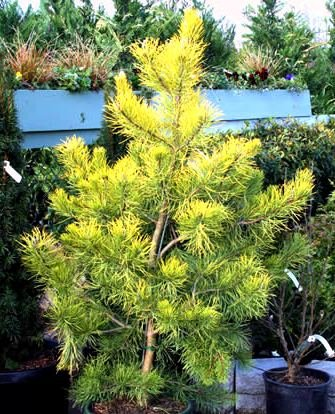 amazon com wates golden virginia pine a golden colored pine in