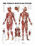 Female Muscular System Anatomical Chart Laminated-8947PL1.5