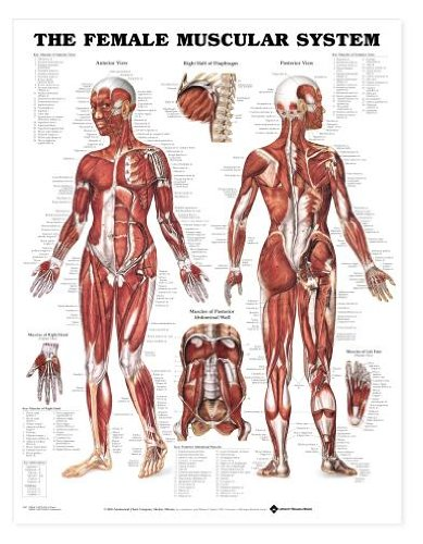 anatomy poster muscle