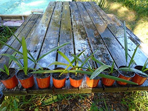 Go Garden Florida -Sabal Palmetto Palm Trees -10 F - Rooted