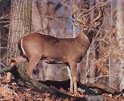 Wild Animal Wall Decor Whitetail Buck Deer Rut Art Print Poster (16x20)