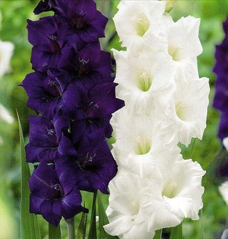 Amazon Com Purple White Mix Large Flowering Gladiolus 10 Bulbs