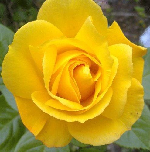gardenexpert Rosa Bush Rose Floribunda 'Arthur Bell' Plant Imberhorne Lane Nursery