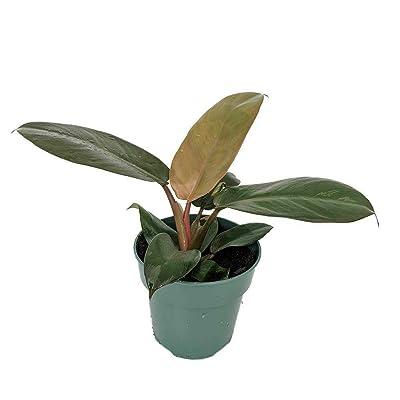 "AchmadAnam - Live Plant Philodendron Rare Black Cardinal 4"" Pot Easy Grow Houseplant Indoor : Garden & Outdoor"