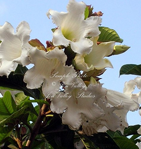 Easter Lily Plant Flowers (Easter Lily Vine-Heralds Trumpet Tropical Plant 10 seeds RARE White Aromatic Flowers Sub tropical container gardens Beaumontia grandiflora)