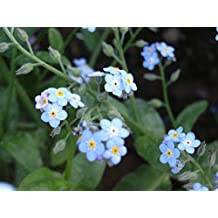 500 seed forget-me-not