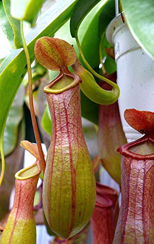 small nepenthes pitcher plant - 5