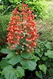 "Orange Pagoda Flower Clerodendrum paniculatum Tropical Plant Chandelier 6+"" Tall (Premium Quality)"
