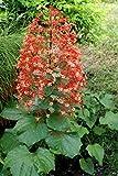"Orange Pagoda Flower Clerodendrum paniculatum Tropical Plant Chandelier 6+"" Tall (Premium Quality)"