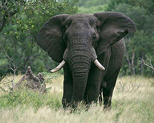 Art Lithograph Rare (Elephants Jungle Wildlife James Jones Photography Print Picture (Choose Size of Print))