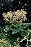 Devil's Walking Stick 15 Seeds-Aralia spinosa-Perennial