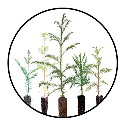 Redwoods of The World | Collection of 5 Live Tree Seedlings | The Jonsteen Company (Giant Sequoia Tree)