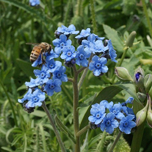Not Packets Forget Me Seed (Outsidepride Chinese Forget Me Not Flower Seed - 1 LB)