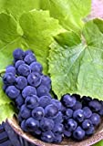 River Bank Grape 10 Seeds - Vitis riparia -Super Hardy!