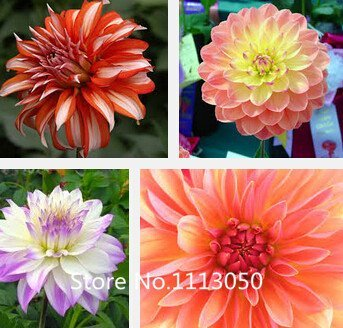 100 Mixed Colors Dahlia Seeds- Super Dinner Plate flower seeds & Amazon.com : New Arrival! 100 Mixed Colors Dahlia Seeds- Super ...