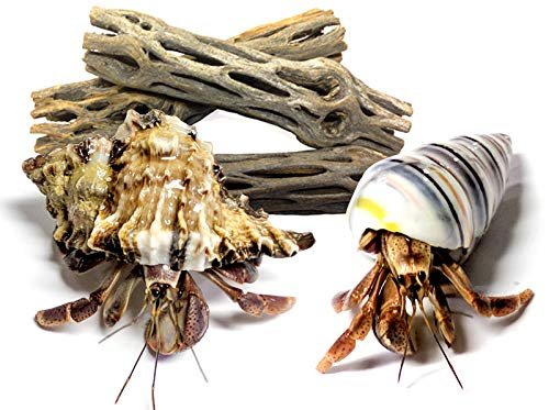 Nature Gift Store 2 Live Pet Hermit Crabs+3 Cholla Exercise Logs Bundle: Purple Pincher Land Crab
