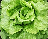 Bibb Lettuce - Fall Crop and Cool Season Planting