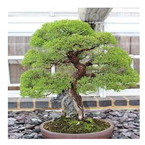 30 Seeds Japanese Red Cedar Cryptomeria Japonica Seeds Bonsai Tree Evergreen #32398256211ST