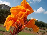 2 Tall Canna Lily - Orange Beauty - Bulbs/Roots/Rhizomes/Tubers/Plants