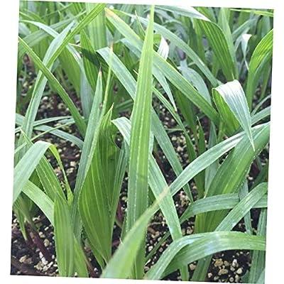 CKN 1 Pcs Bare Root 3 Months Mexican Fan Palm Washingtonia Robusta - 143EB : Garden & Outdoor