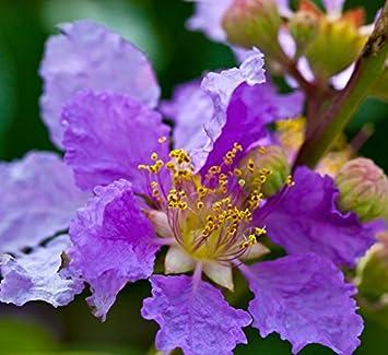 Blüten wie Orchideen mehrfarbig 50 Samen Bauhinia variegata Orchideenbaum
