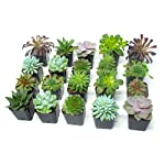 Succulent Plants (20 Pack) Fully Rooted in Planter Pots with Soil | Real Live Potted Succulents / Unique Indoor Cactus Decor by Plants for Pets 22 HAND SELECTED: Every pack of succulents we send is hand-picked. You will receive a unique collection of species that are fully rooted and similar to the product photos. Note that we rotate our nursery stock often, so the exact species we send changes every week. THE EASIEST HOUSE PLANTS: More appealing than artificial plastic or fake faux plants, and care is a cinch. If you think you can't keep houseplants alive, you're wrong; our succulents don't require fertilizer and can be planted in a decorative pot of your choice within seconds. DIY HOME DECOR: The possibilities are only limited by your imagination; display them in a plant holder, a wall mount, a geometric glass vase, or even in a live wreath. Because of their amazingly low care requirements, they can even make the perfect desk centerpiece for your office.