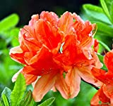 "Tangerine Delight Deciduous Exbury Azalea - Very Hardy/Fragrant - 2.5"" Pot"
