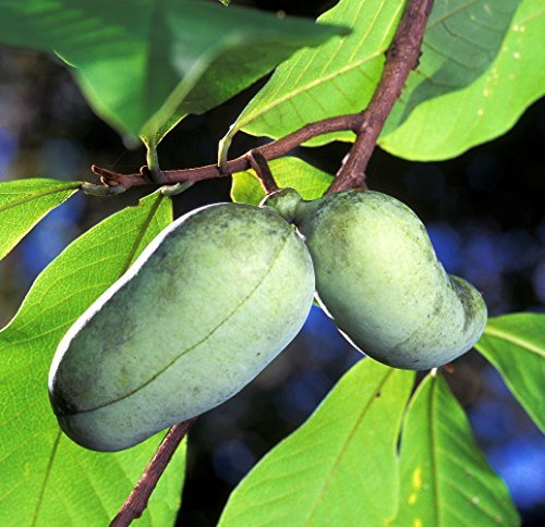 Paw Paw Tree 5 Seeds Asimina triloba PawPaw by Hirts  Seed; Tress & Shrubs