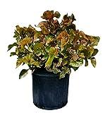 PlantVine Acalypha wilkesiana 'Mardi Gras', Copperleaf - Large - 8-10 Inch Pot (3 Gallon), Live Plant - 4 Pack