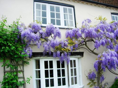 BLUE MOON WISTERIA VINE - FRAGRANT FOOT LONG FLOWERS - ATTRACTS HUMMINGBIRDS - 2 - YEAR PLANT by Japanese Maples and Evergreens (Image #2)