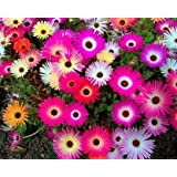 Trust Basket Open Pollinated Mesembryanthemum/Ice Plant Seeds