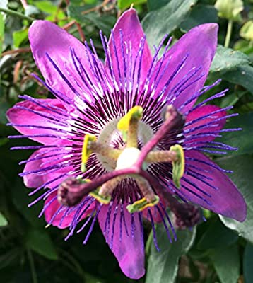 "Amethyst Passion Flower - Passiflora - On Trellis - Live Plant 5"" Pot"