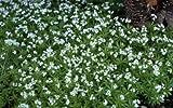 Sweet Woodruff Galium odoratum 1,000 seeds