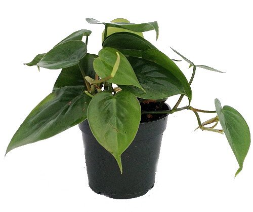 heart-leaf-philodendron-easiest-house-plant-to-grow-4-pot