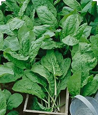 Non GMO-Organic Open Pollinated. 200 Large Leaf Sorrel Herb Seeds