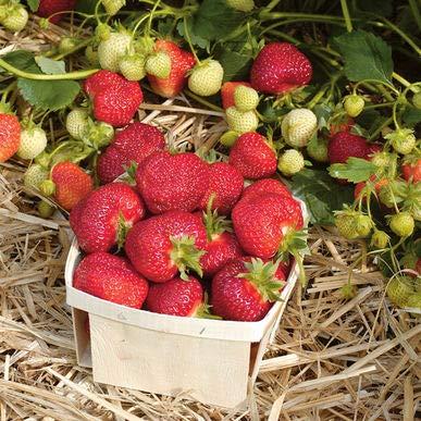 Pakuda 100 Units Honeoye Strawberry Plants