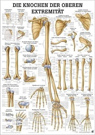 Ruediger Anatomie MIPO63LAM Die Knochen der oberen Extremität Tafel ...
