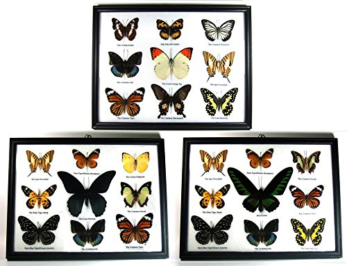 (Thai Productz 3 x Framed Wall Decor Real Beautiful Butterfly Display Insect Taxidermy Gift #03)